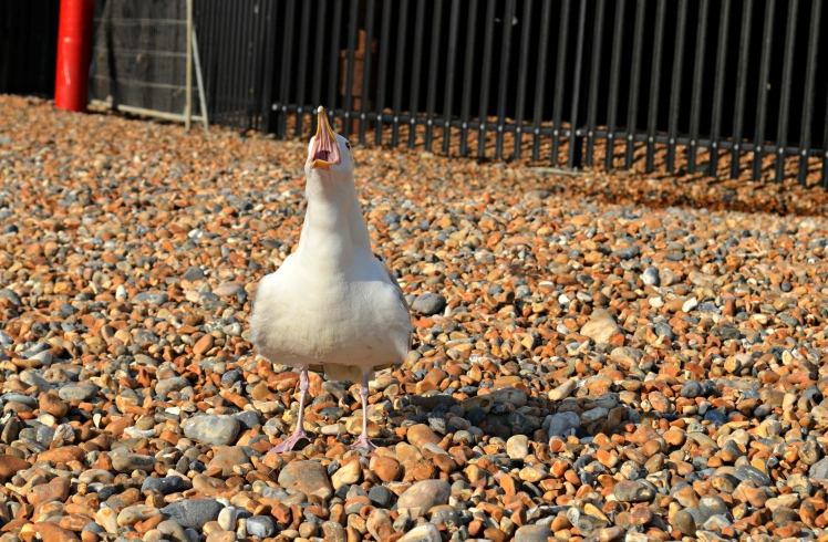 squawky seagull